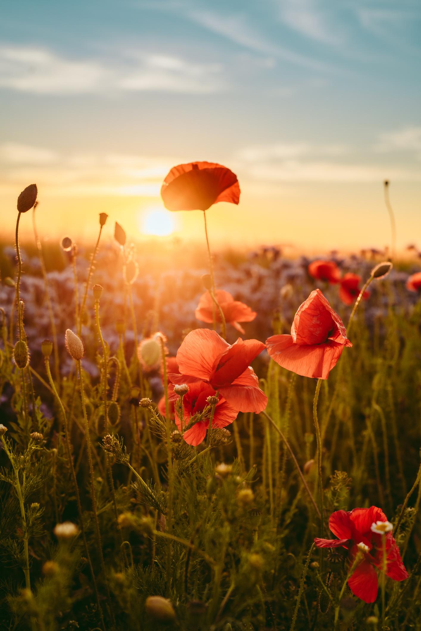 Poppy and agriculture fields in sunset in beautiful österlen flowers in bloom. Photo taken in sunlight in evening in summer.